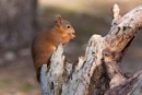 Red Squirrel by POD