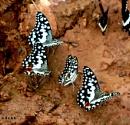 Butterfly gathering..2 by debu
