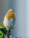 Robin by Alan_Baseley