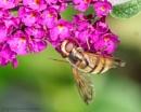 Hoverfly by Alan_Baseley