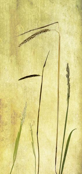Fine Grasses by Irishkate