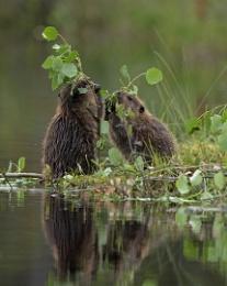 Two Beaver kittens
