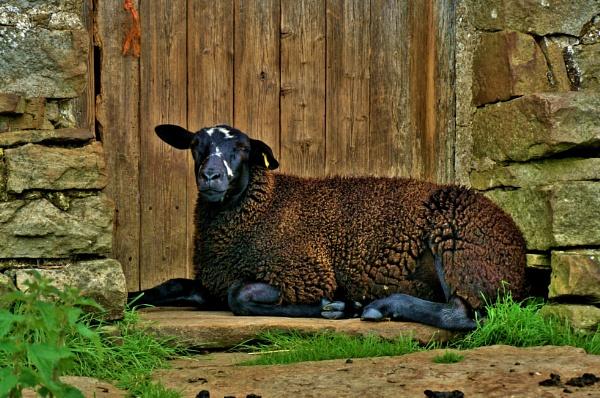Black sheep portrait.