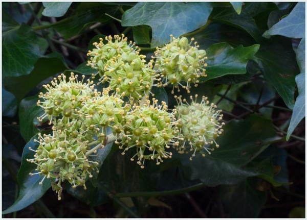Ivy Flowers by JawDborn