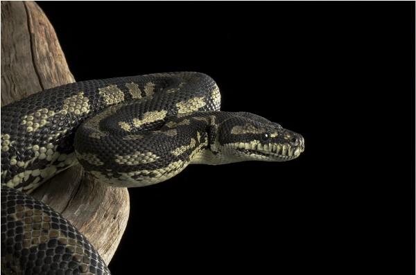 Carpet Python by ade123