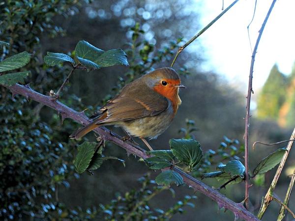 I love Robins. by brandish