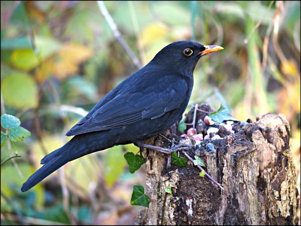 A male Blackbird. by brandish