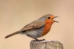 Robin--Erithacus rubecula.