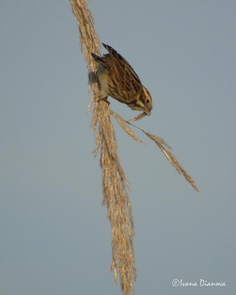 Reed Bunting (Emberiza schoeniclus) by idiabb