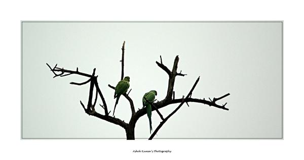 Parakeets by ashokynk