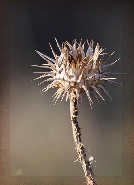 Dry Thorn by SHR