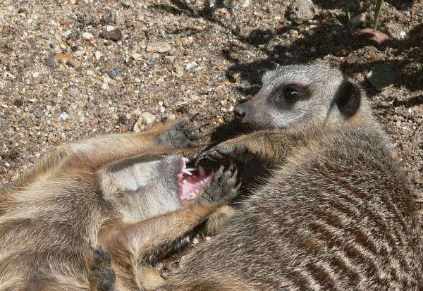 Meerkats by ThePixelator