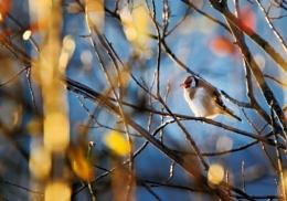 European Goldfinch 2
