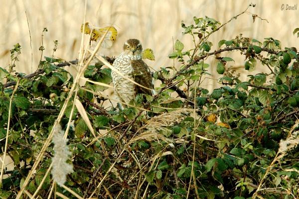 Sparrow Hawk by DaveNewbury
