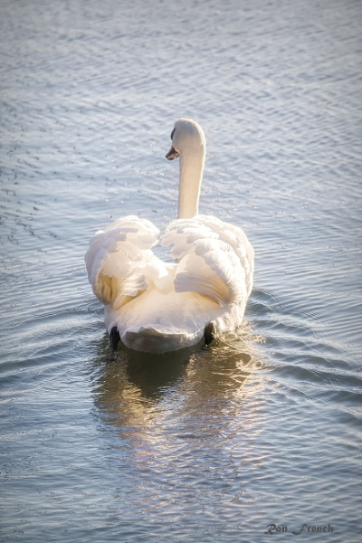 Swan,poser by frenchie44