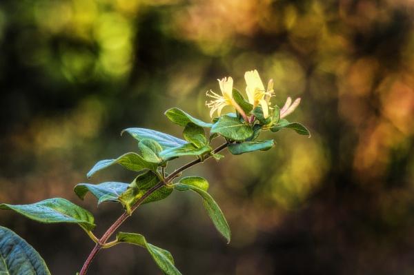 WILD HONEY SUCKLE,still in flower! by frenchie44