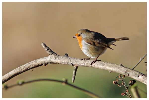 Another Robin