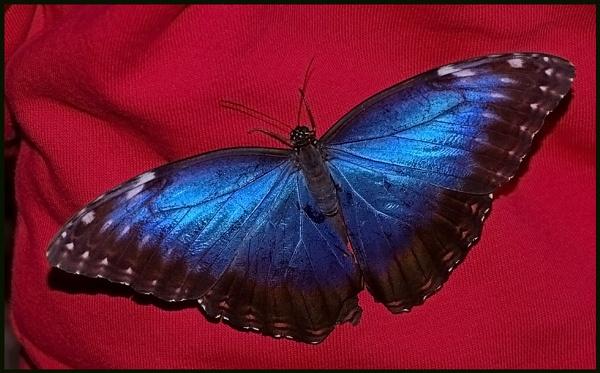 Morpho menelaus-Blue morpho. by Badgerfred