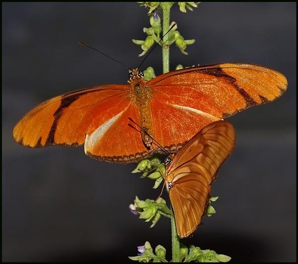 Julia Butterflies. by Badgerfred
