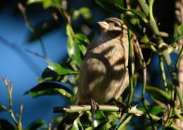 Female House sparrow in dappled lighting.