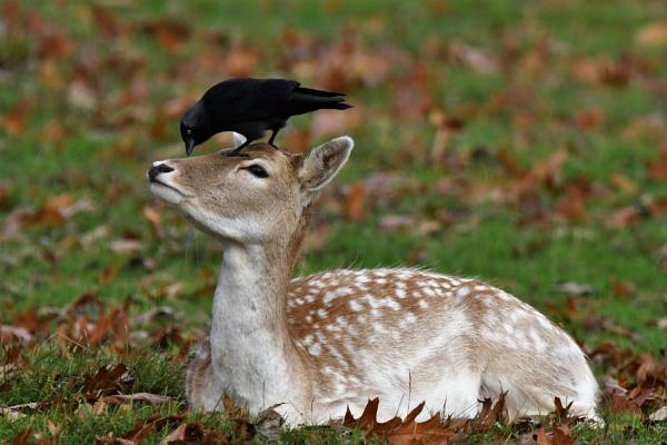 Fallow Deer & Jackdaw by vandalp