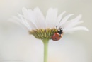 Ladybird by SWMahy