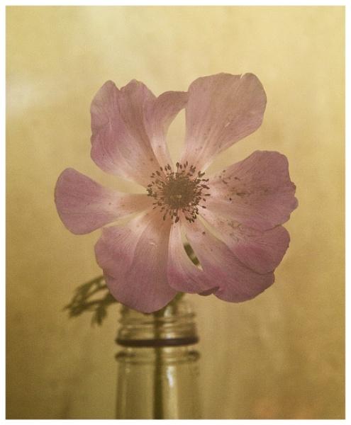 Anemone by rambler