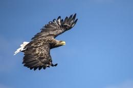 White-Tailed Eagle - Mull