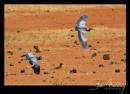 Black Headed Herons by SteveMoulding