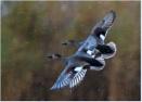 Gadwall Ducks by mjparmy