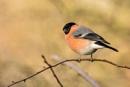 Bullfinch (Pyrrhula pyrrhula) by Ray_Seagrove