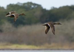 Ducks over Myakka Lake