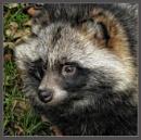 Raccoon Dog 2 by PhilT2