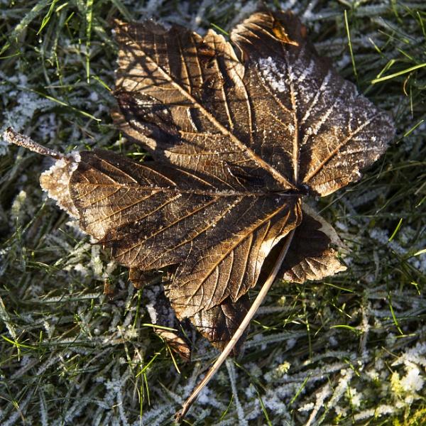 Frozen Leaf by Irishkate