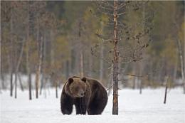 Brown bear drinking melting snow