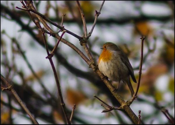 Robin in the bush by civitas