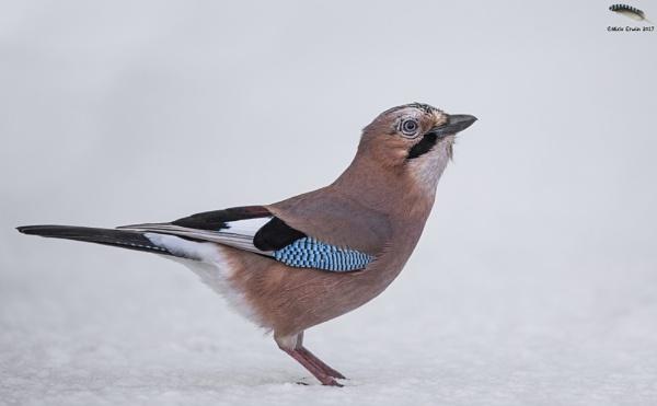 A Snowy Jay