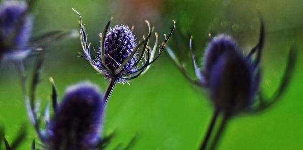 Eryngiums ( Sea Holly ). by Mollycat