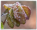 Needle Crystals and Rose Leaves by taggart