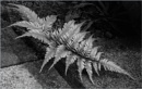 Japanese Fern by taggart