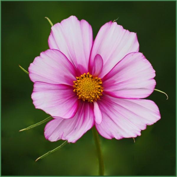 cosmic pink by estonian