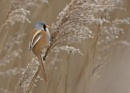 Bearded Tit 2 by Andy_brown