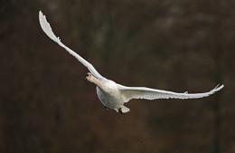 Mute Swan in flight