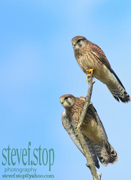 kestrels hunting in pairs by StevenFenton