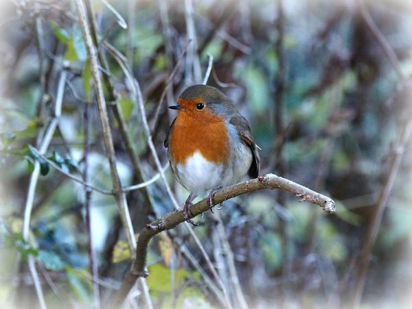 Robin,Blackbird,Bluetit and Dunnock. by brandish