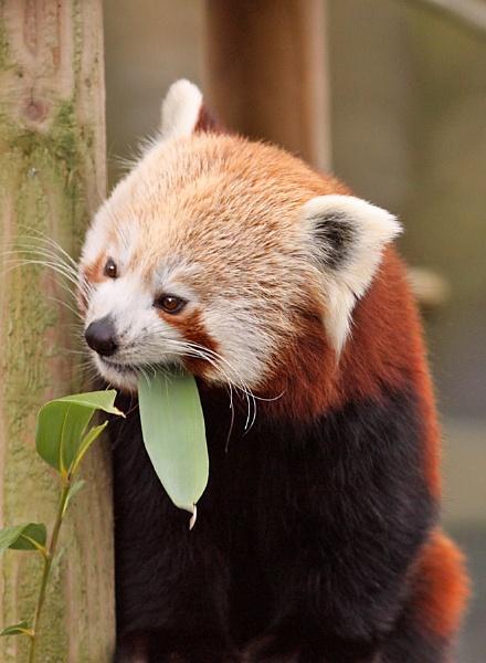 Red Panda--Ailurus fulgens by bobpaige1