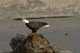 Eagle on the Beach