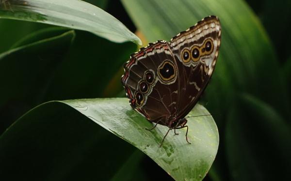 Butterfly Blue Morpho by frogs123