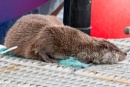 Toft Otter 2 by PBeaumont