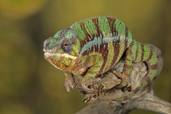 Chameleon by ValSaxby